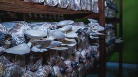 Agricoltura bianca del fungo di ostrica Fotografie Stock Libere da Diritti