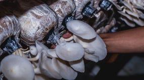 Agricoltura bianca del fungo di ostrica Tempo di raccolta Immagini Stock Libere da Diritti