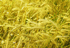 Agricoltura biologica, campo di piano del cereale Fotografia Stock Libera da Diritti
