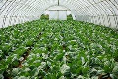 Agricoltura biologica, cavolo di sedano che cresce nella serra Immagine Stock