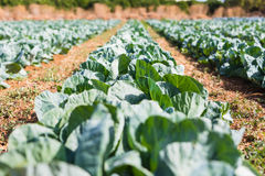 Agricoltura biologica, cavolo di sedano che cresce nella serra serra Fotografia Stock Libera da Diritti