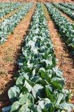 Agricoltura biologica, cavolo di sedano che cresce nella serra serra Immagine Stock Libera da Diritti
