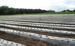 Agricoltura biologica con il film plastico protetto Fotografia Stock Libera da Diritti