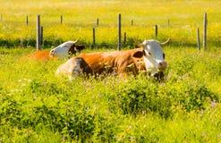 Agricoltura biologica con le mucche felici Immagini Stock