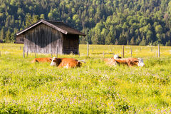 Agricoltura biologica con le mucche felici Immagine Stock