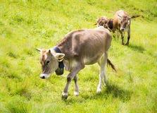 Agricoltura biologica con le mucche felici Fotografia Stock Libera da Diritti