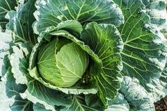 Agricoltura biologica del cabage verde fresco Fotografie Stock Libere da Diritti