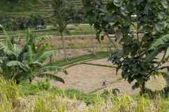 Agricoltura biologica del giacimento a terrazze del riso Fotografie Stock
