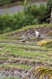 Agricoltura biologica del giacimento a terrazze del riso Immagini Stock Libere da Diritti