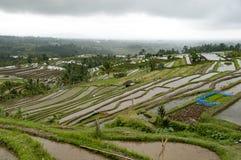 Agricoltura biologica del giacimento a terrazze del riso Immagine Stock Libera da Diritti