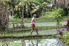 Agricoltura biologica del giacimento a terrazze del riso Immagini Stock