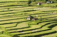 Agricoltura biologica del giacimento a terrazze del riso Fotografia Stock Libera da Diritti
