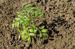 Agricoltura biologica del pomodoro in serra Piantine della pianta Fotografie Stock