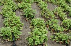 Agricoltura biologica della fragola e della tecnologia per irrigazione con acqua di goccia Fotografia Stock
