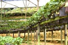 Agricoltura biologica delle fragole Fotografia Stock
