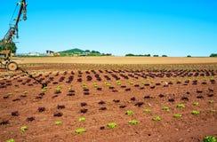 Agricoltura biologica in Germania - coltivazione della lattuga di foglia della quercia Fotografia Stock Libera da Diritti