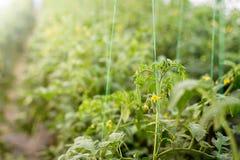 Agricoltura biologica, giovane crescita delle piante di pomodori in serra Immagine Stock