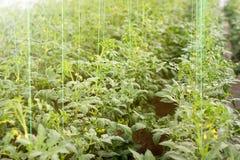 Agricoltura biologica, giovane crescita delle piante di pomodori in serra Fotografia Stock