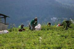 Agricoltura biologica indonesiana Fotografia Stock Libera da Diritti