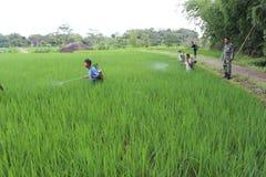 Agricoltura biologica indonesiana Immagini Stock