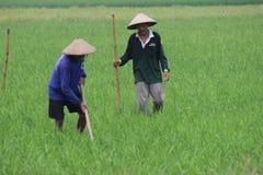 Agricoltura biologica indonesiana Fotografie Stock Libere da Diritti