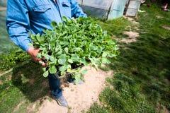 Agricoltura biologica, piantine che crescono nella serra Fotografie Stock Libere da Diritti
