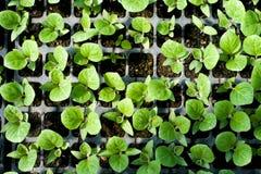 Agricoltura biologica, piantine che crescono nella serra fotografia stock