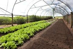 Agricoltura biologica in serre Fotografie Stock Libere da Diritti