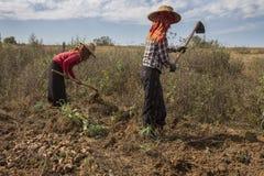Agricoltura birmana - Myanmar Immagini Stock Libere da Diritti