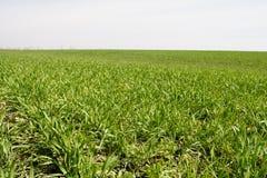 Agricoltura, campo coltivare con i tiri verdi Fotografia Stock Libera da Diritti