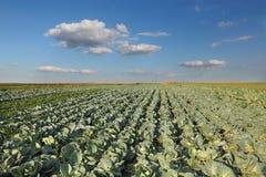 Agricoltura, campo del cavolo Fotografia Stock Libera da Diritti