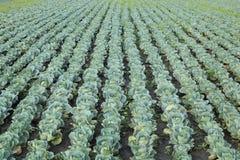 Agricoltura, campo del cavolo Fotografia Stock