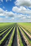 Agricoltura, campo della carota di estate Fotografie Stock Libere da Diritti