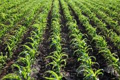 Agricoltura, campo della pianta di cereale Fotografia Stock Libera da Diritti