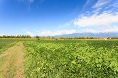 Agricoltura, campo della soia Fotografie Stock