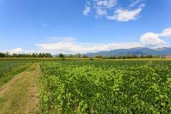 Agricoltura, campo della soia Fotografia Stock Libera da Diritti
