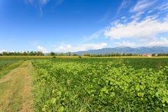 Agricoltura, campo della soia Immagine Stock Libera da Diritti