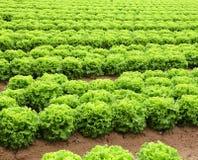 Agricoltura: campo di lattuga verde Immagini Stock Libere da Diritti