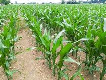 Agricoltura, campo di mais Fotografia Stock Libera da Diritti