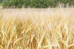 Agricoltura - campo di segale il giorno soleggiato Fotografia Stock