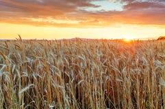 Agricoltura, campo dorato con grano Fotografie Stock Libere da Diritti