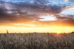 Agricoltura, campo dorato con grano Fotografie Stock