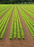 Agricoltura: campo enorme di lattuga verde Fotografie Stock