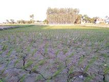Agricoltura che coltiva il fango dhaan dell'acqua della scuola materna immagine stock