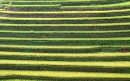 Agricoltura che coltiva risaia a terrazze Immagine Stock