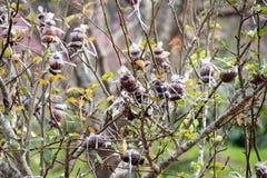 Agricoltura - ciliegio himalayano selvaggio dell'innesto Fotografia Stock Libera da Diritti