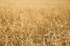 Agricoltura, coltivare, cereale, campo delle orecchie di maturazione del grano o relè Fotografia Stock