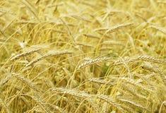 Agricoltura, coltivare e piano del cereale Fotografie Stock Libere da Diritti