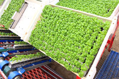 Agricoltura, coltura industriale del basilico Immagine Stock Libera da Diritti