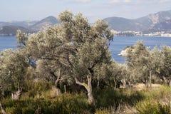 Agricoltura con di olivo Fotografie Stock Libere da Diritti